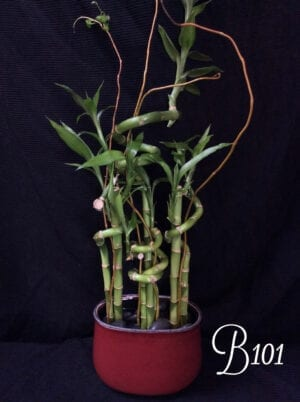 Lucky bamboo arrangement, delivered to Central Oregon